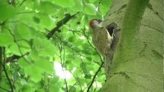 The secret life of the Green woodpecker / Het geheime leven van de Groene specht