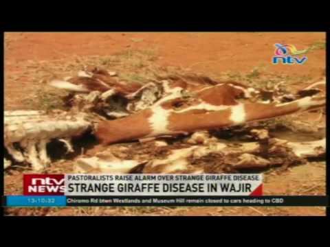 Pastoralists raise alarm over strange giraffe disease