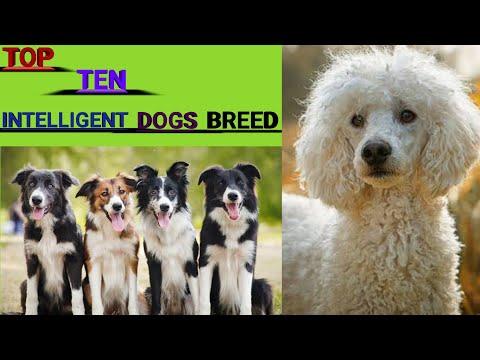 TOP 10 INTELLIGENT DOG'S BREEDS