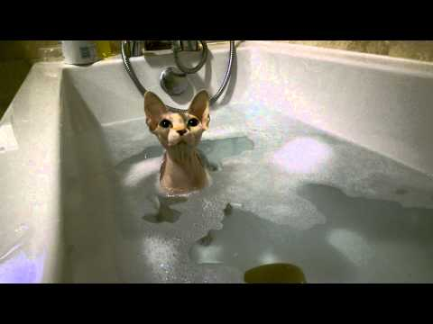 Sphynx Cat in the water! Monkey-Rat having a bath