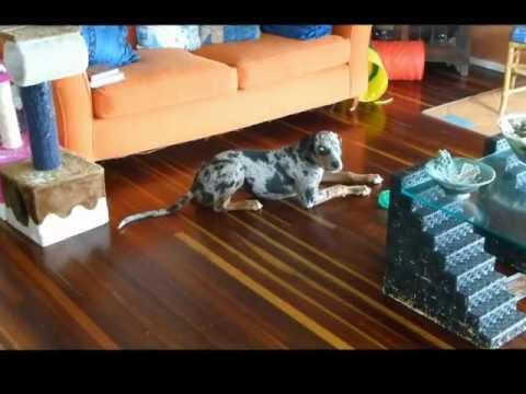 CATAHOULA LEOPARD DOG SINGS FOR BREAKFAST