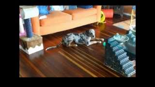 Catahoula Leopard Dog Sings For Breakfast