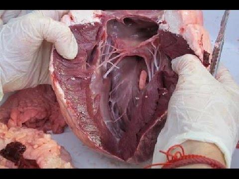 Partes del corazón del Bovino, nombres anatómicos. - YouTube