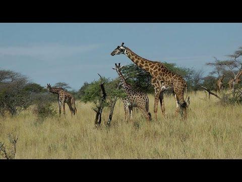 TERRA 914: The Maasai Giraffe