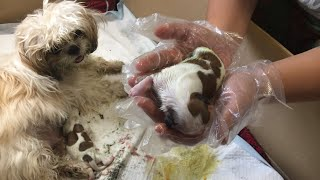 Shihtzu giving birth for the first time  (Luthi's first puppies) Lulu the Shihtzu TV