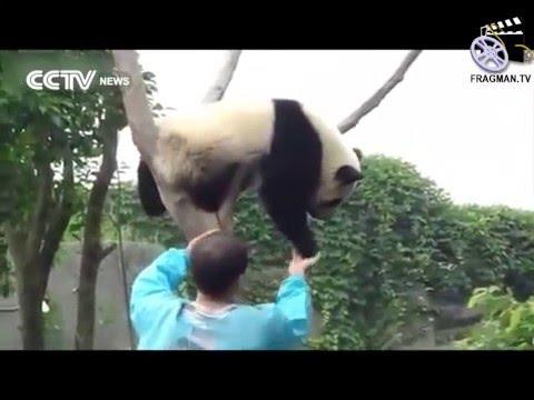 Ağaçta uyuyan panda: Heeey, kalk yerine yat!