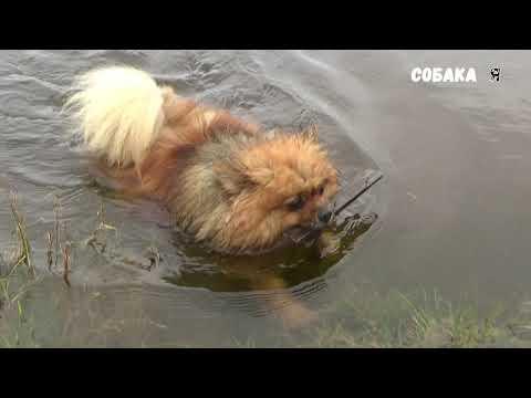 Вы видали как плавают шпицы... Чипа Собака я