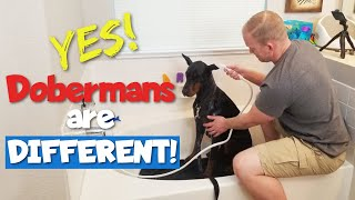 STOP Bathing Your Doberman Like Every Other Dog!