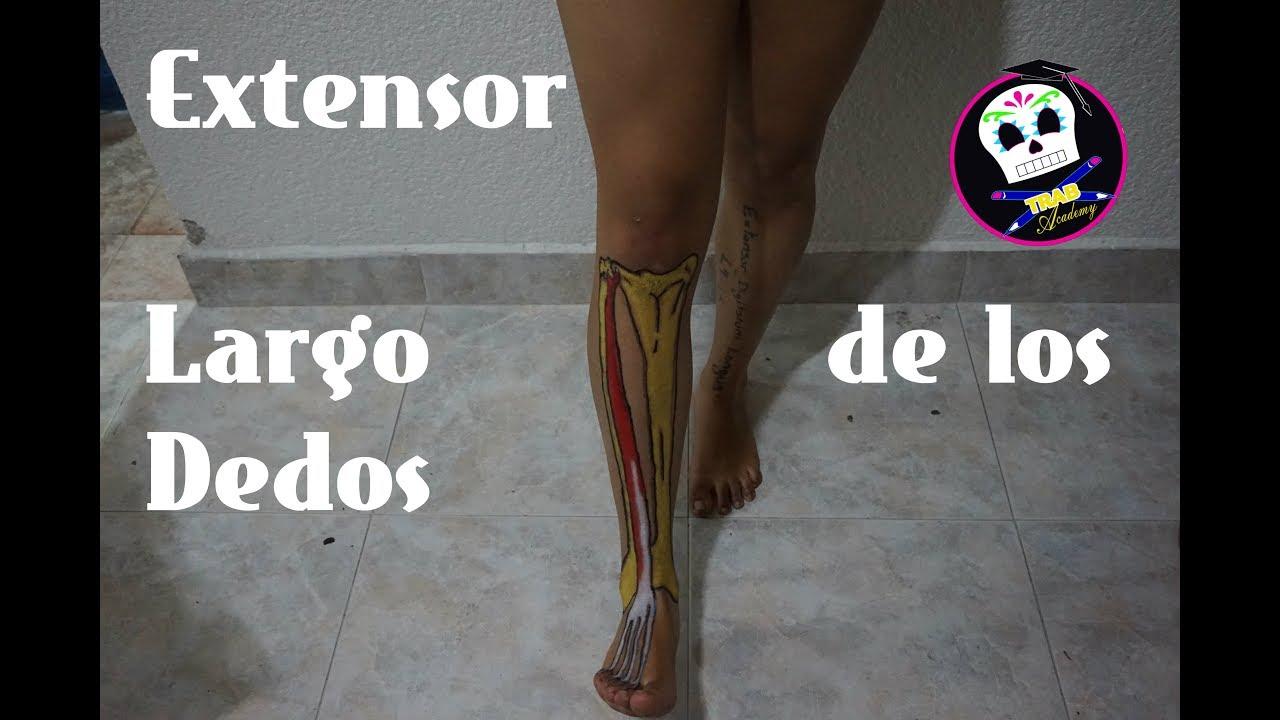 Extensor Largo de los Dedos/ Anatomía - YouTube