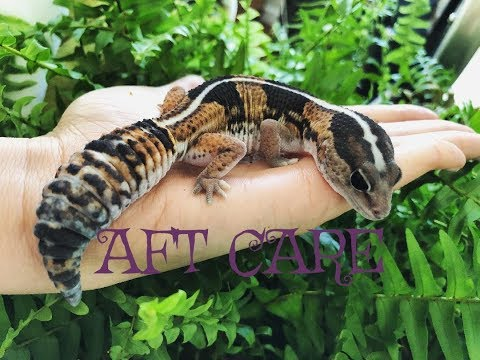 African Fat Tail Gecko Care