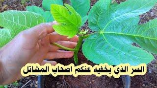 طريقة جنونية لزراعة شجرة التين  ziraeat shajaratan altyn