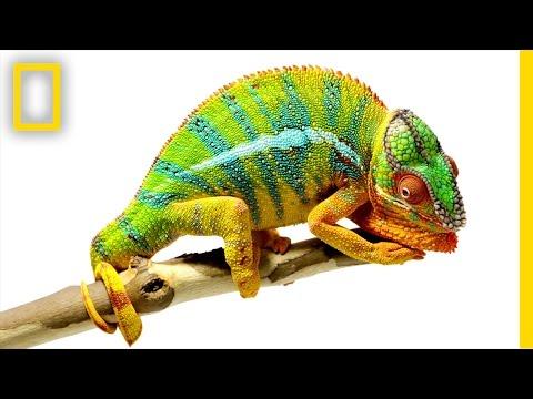 Beautiful Footage: Chameleons Are Amazing | National Geographic