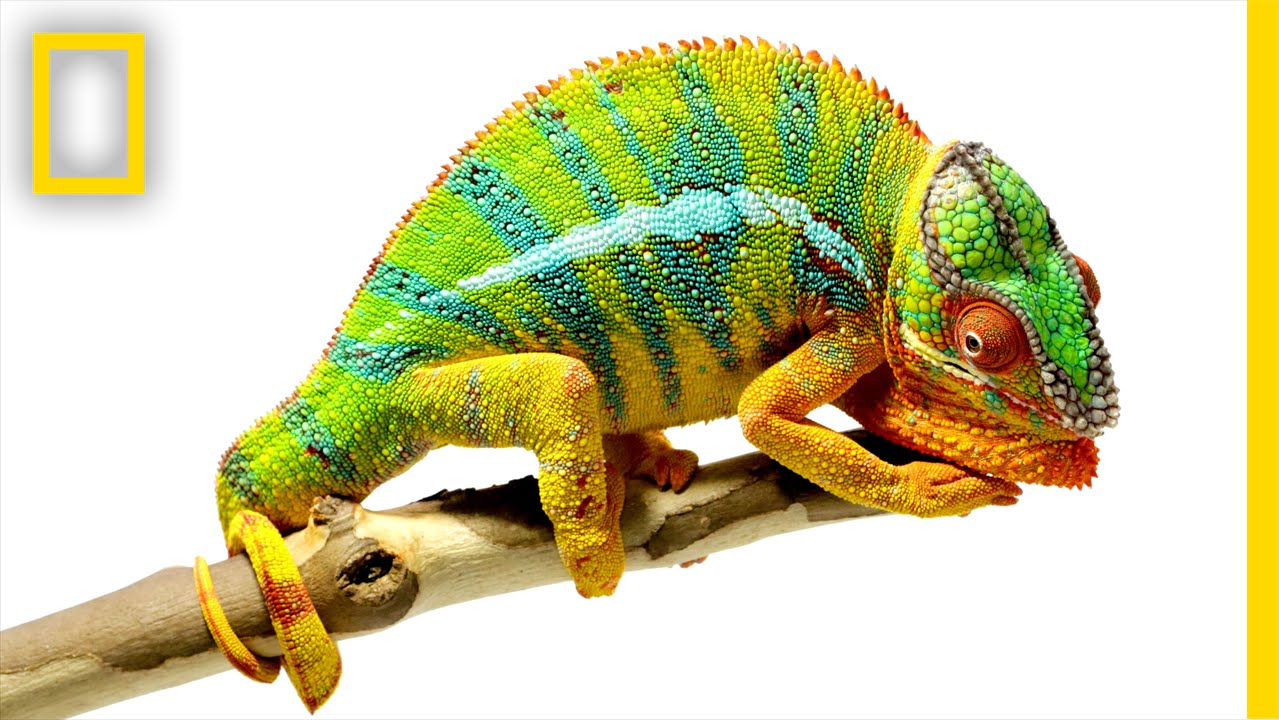 1f9be6a0324 Beautiful Footage  Chameleons Are Amazing