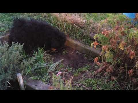 Agi the stone monster  - Hungarian Puli
