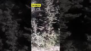 Download lagu Trabzon da İneğe Ayı Saldırdı İnek Telef Oldu MP3