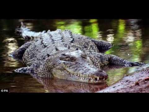 Great White Shark Vs Saltwater Crocodile Youtube
