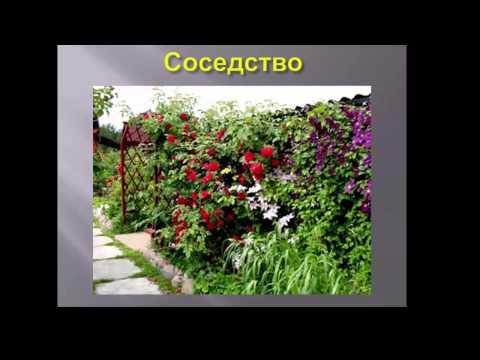 Клематисы в вашем саду