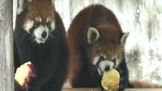 レッサーパンダたちが丸ままのリンゴをもらっていました。