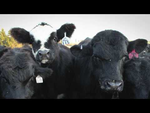 Quantified Ag: Cattle health management, simplified.