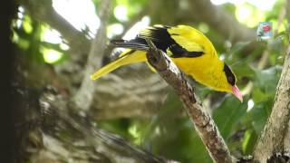 Kicau Burung Kepodang di Alam Bebas