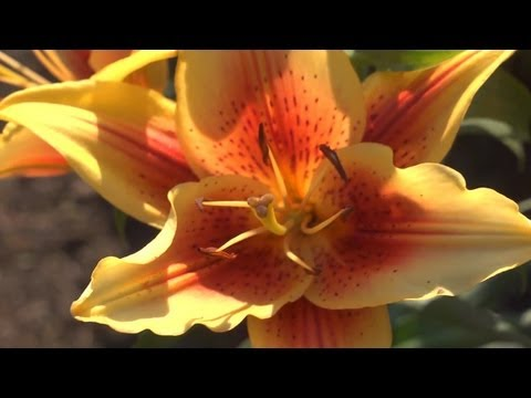 How to Grow Lilies   At Home With P. Allen Smith