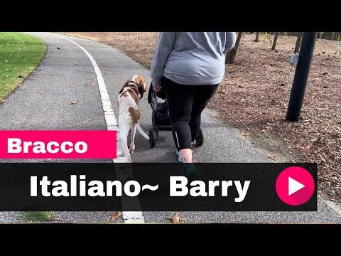 Bracco Italiano~ Barry Off Leash K9 Training Myrtle Beach 2 Week Board and Train