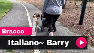Bracco Italiano~ Barry Off Leash K9 Training Myrtle Beach 2 Week Board and Train