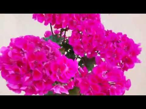 Очень пышное цветение пеларгоний