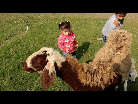 #مريم لعبت مع الخروف ورضعت من امها!! وملكه خافت وجريت