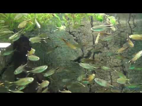 Head And Tail Light Tetra - Hemigrammus Ocellifer