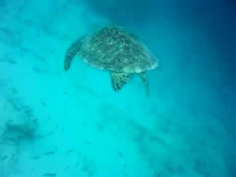 kaplumbağayla yüzmek, bali adası, 2014 temmuz