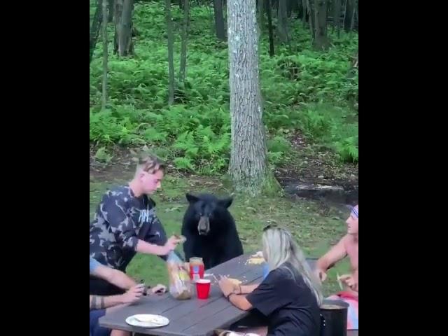 Urso senta-se à mesa para fazer piquenique com humanos