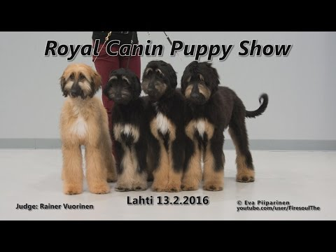 Puppy Show Lahti 2016 • Afghan Hounds