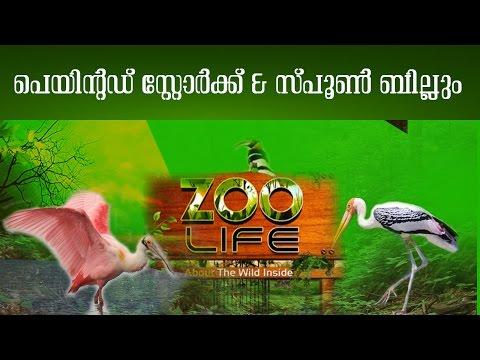 Migratory Birds : Painted Stork & Spoon Bill | Zoo Life | Kaumudy TV