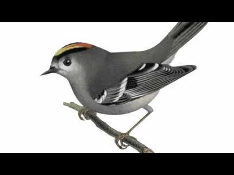 Rufe: Wintergoldhähnchen