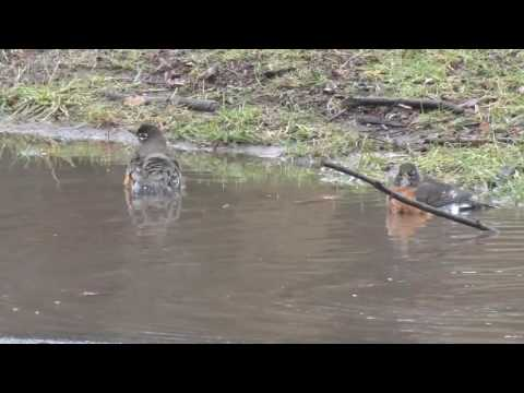 Bird Stock Footage - Bird Bathing - American Robin (Turdus migratorius)