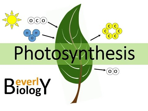 Photosynthesis (updated honors biology)