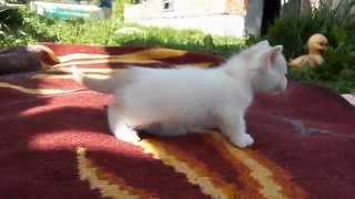 котята манчкина