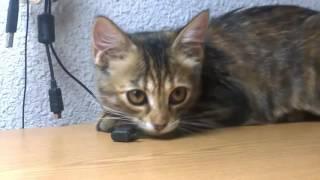 Котенок #Конби осваивается на моем рабочем столе. #Канберра #Канбертина #Тина