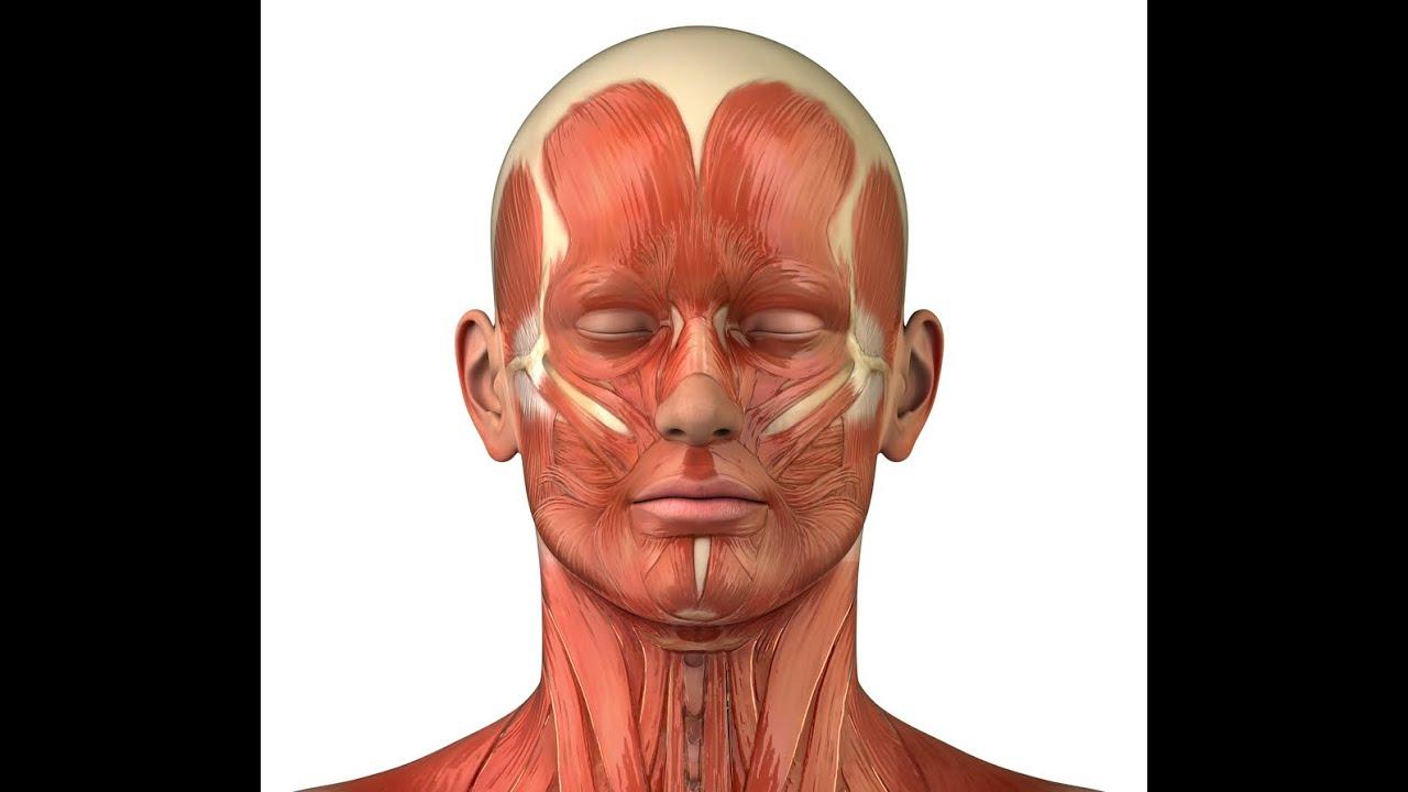 мышцы лица фото анатомия