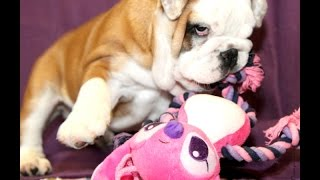 Юный БульдогФил Николас (ТОША) 2017 Продается:) как купить щенка английского бульдога