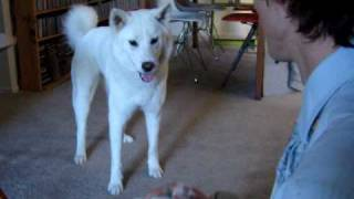 My White Korean Jindo Dog Happy To See Her Owner Home