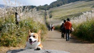 Pampas Grass, Sengokuhara, Hakone / 仙石原 箱根 20121017 Goro@welsh Corgi