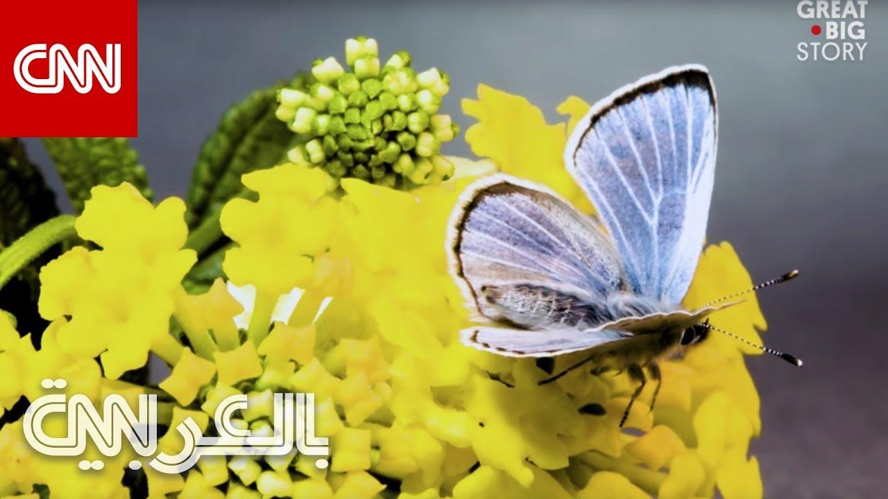 CNN عربية:فراشة نادرة اختفت لسنوات تعود للظهور