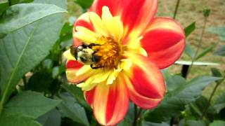 Beeing with C and I in Dahlia patch at HPG_1