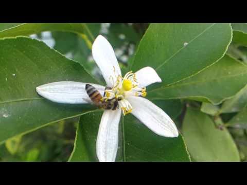 Abeja recolectando polen en flor de calabaza de YouTube · Alta definición · Duración:  2 minutos 11 segundos  · Más de 11.000 vistas · cargado el 20.01.2015 · cargado por Asi Somos