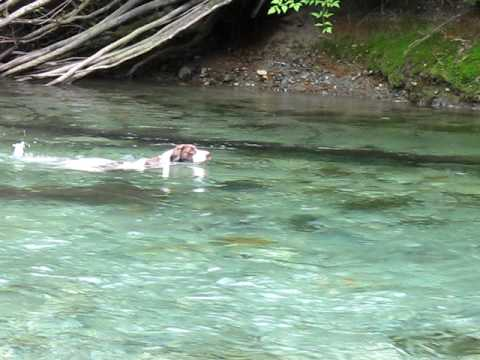 German Short Haired Pointer swimming in a creek.