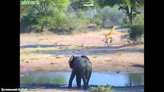 Afryka Płd. - żyrafy i słonie