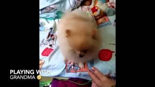 Playing With Grandma - Hong Kong Lion King Cutie Dog Pomeranian 仔仔 松鼠狗