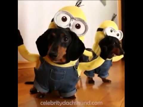 Cute dogs wearing minions costume youtube